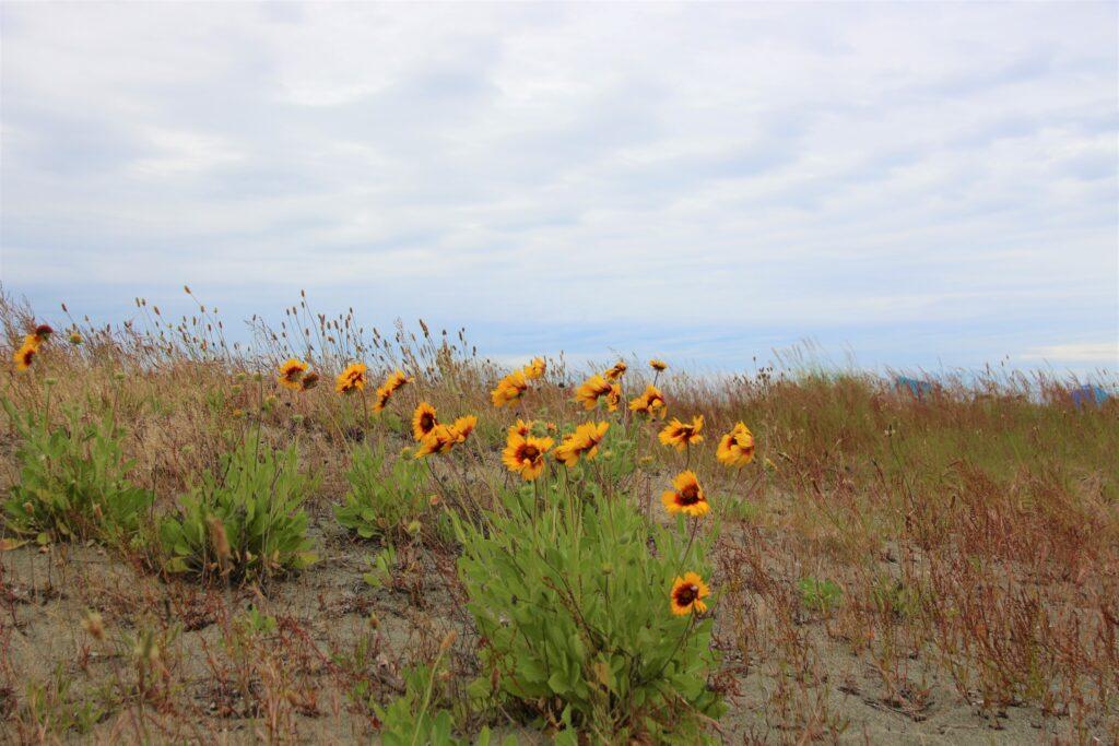 Wild flowers on the Centennial Beach