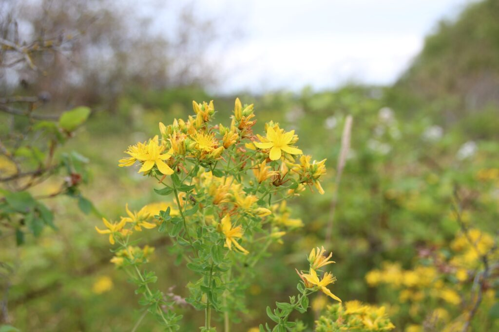 St. Johns Wort on the trail