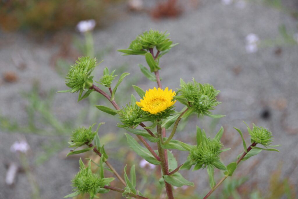 Puget Sound gumweed unique to Oregon, Washington and BC