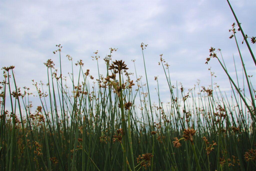 Schoenoplectus tabernaemotani (softstem bulrush) brushes at Boundary Bay