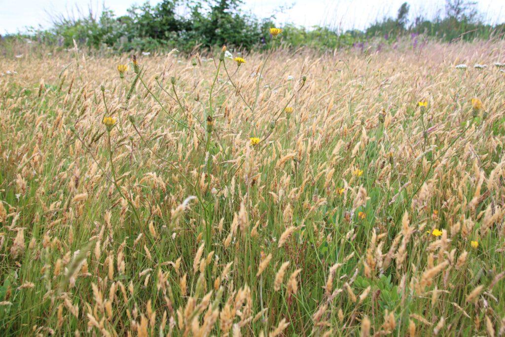 Wild wheat wavering in the wind