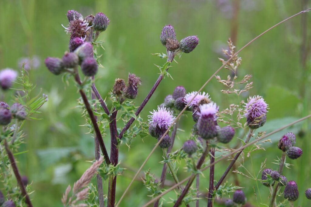 creeping thistle on the trail