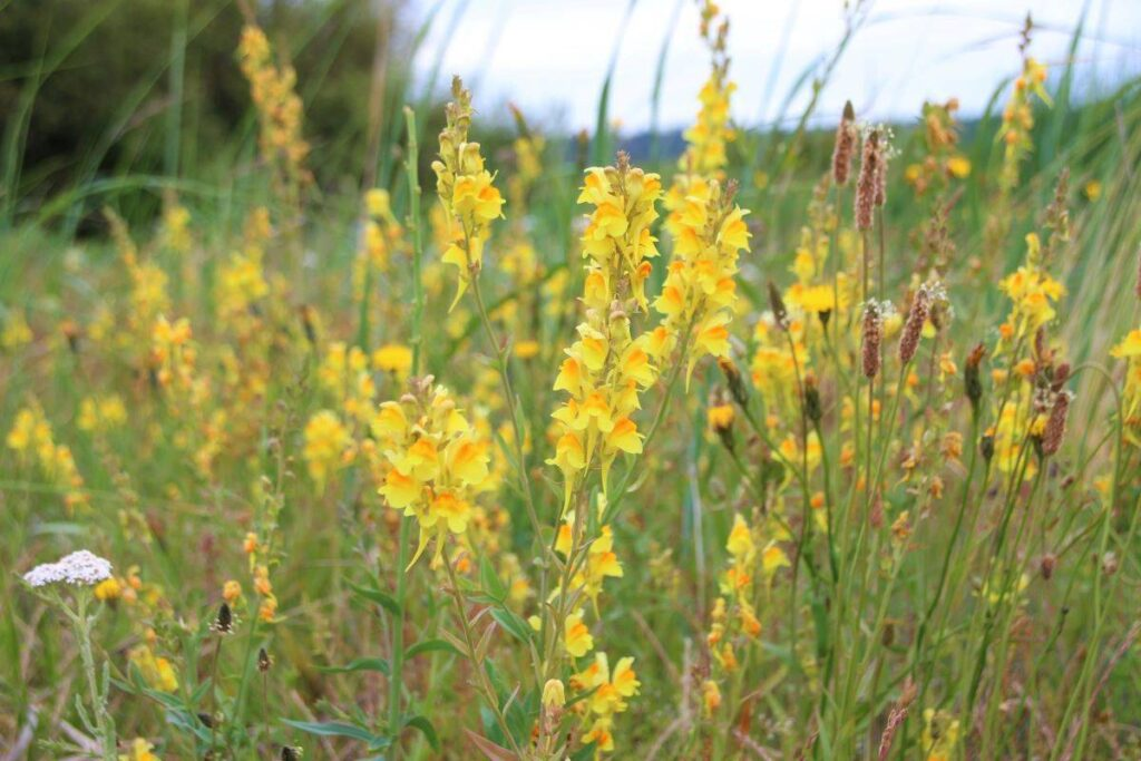 Yellow toadflax blooming