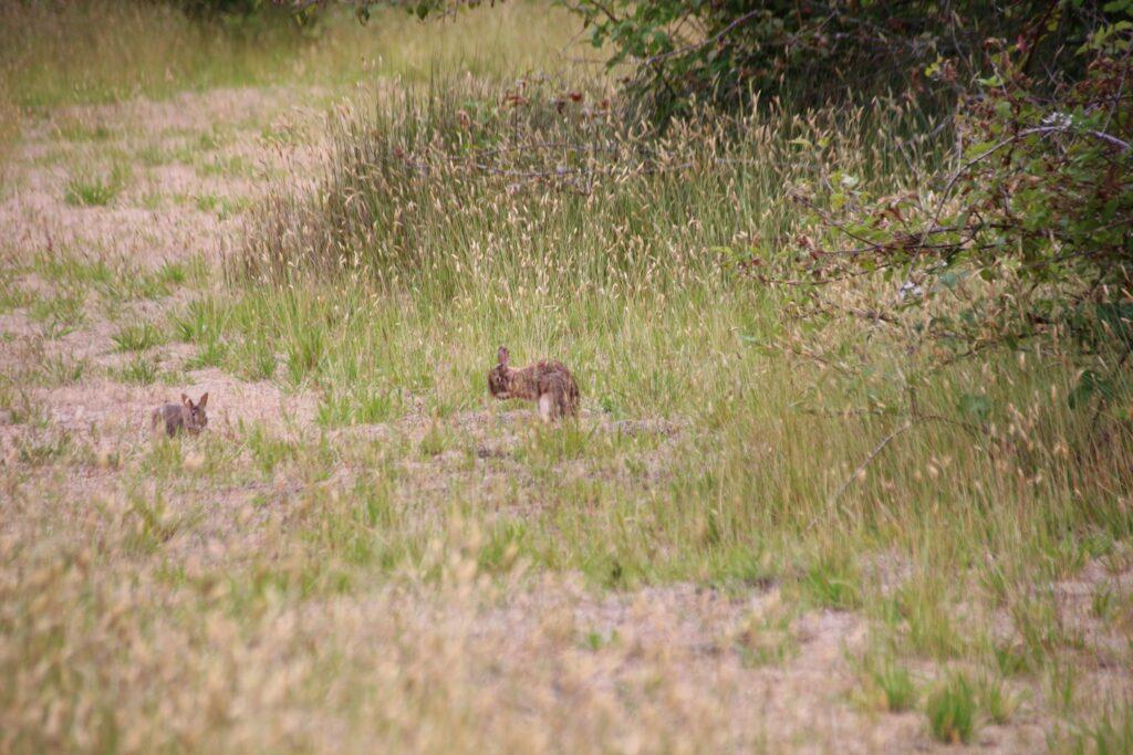 wild hares at Boundary Bay