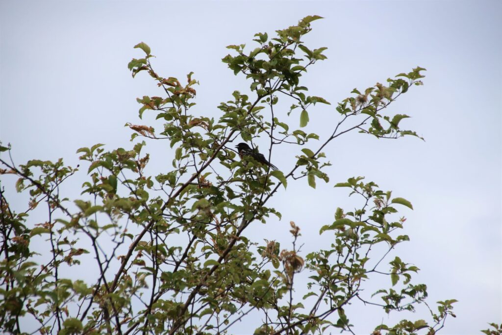 Towhee singing atop a tree