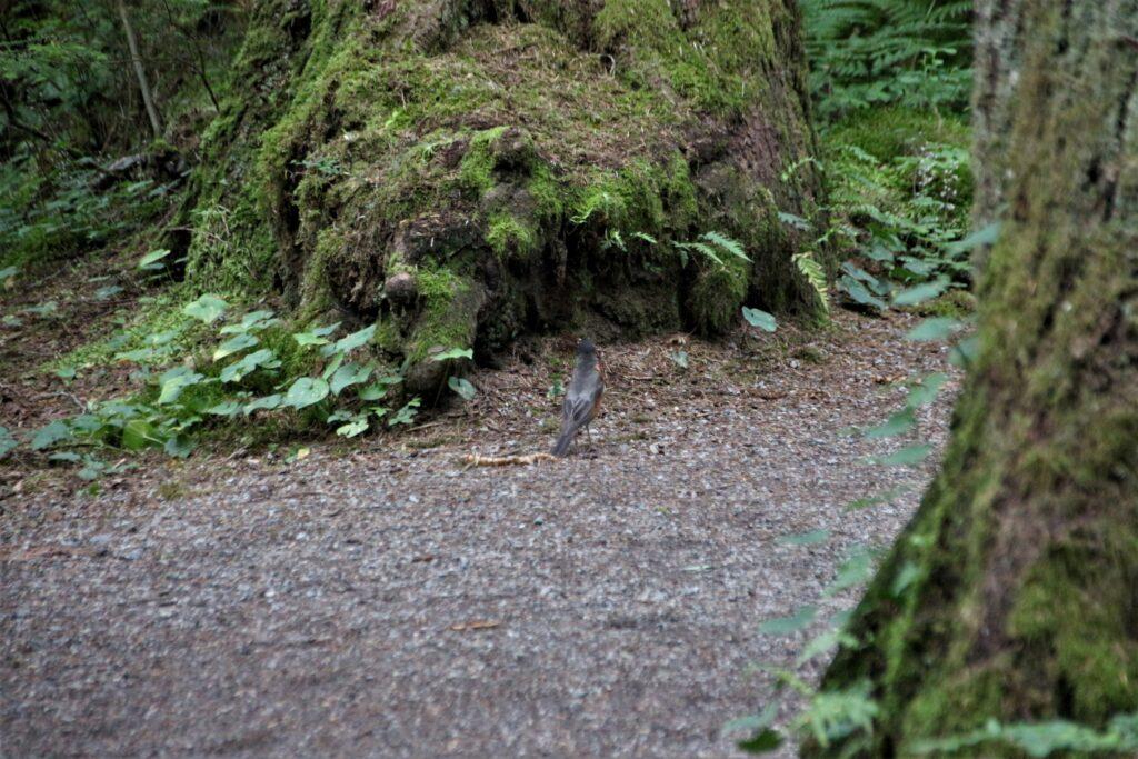 North America Robin on the trail