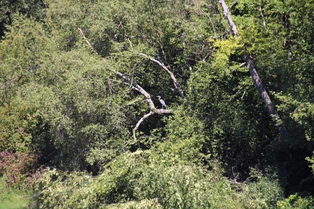 Blue Heron at Kanaka Creek