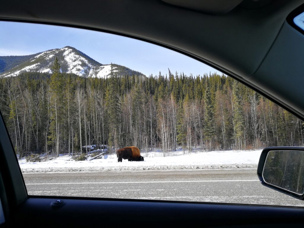 Alaska bison on the roadside visable through car window
