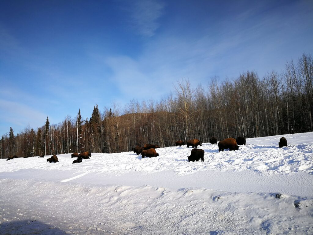 A large herd of bisons foraging in the snow