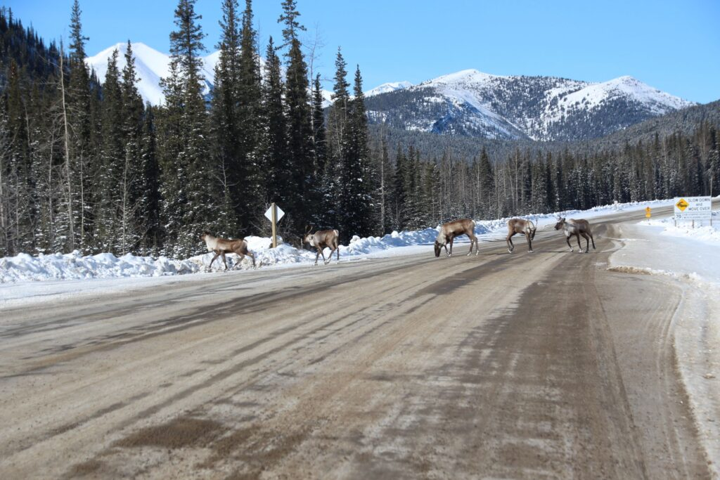 Caribou herd near Stone Mountain Provincial Park on the highway