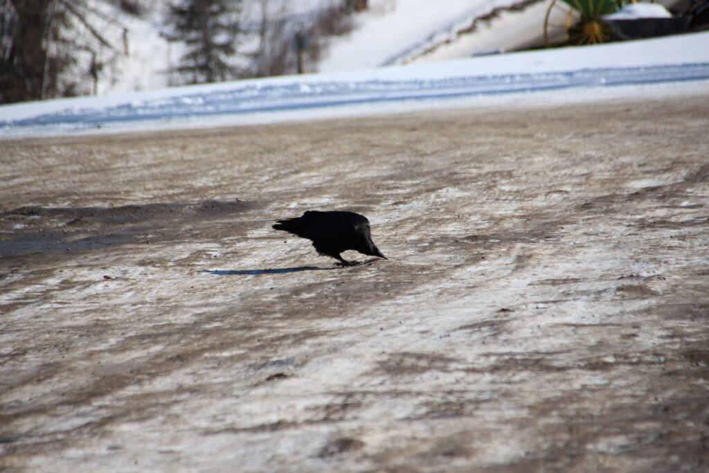 a crow pecking on the icy ground for salt