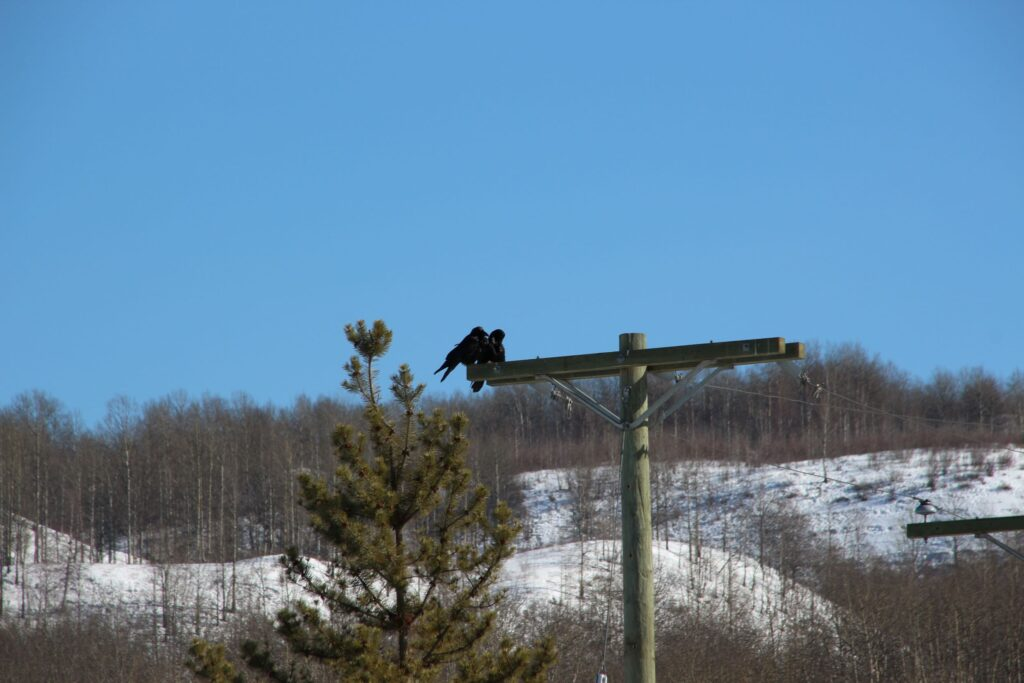 A pair of crows perching on power pole overlooking the Toad River Valley