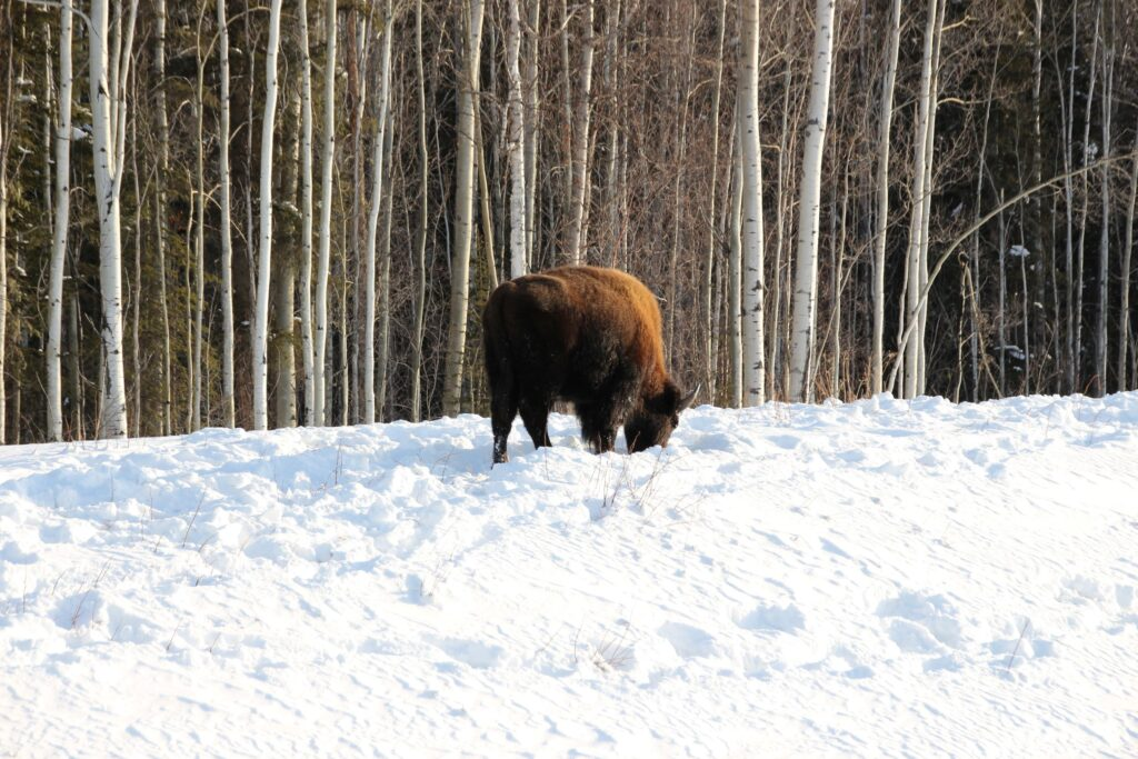 A bison foraging outside of the wood