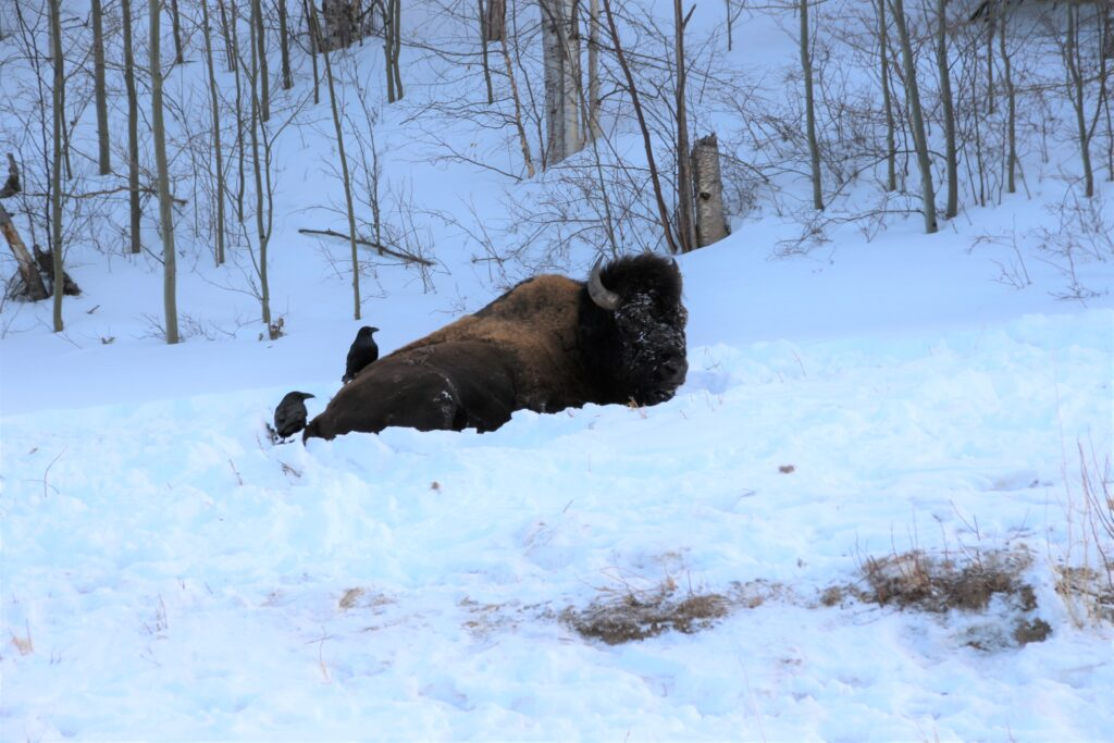 Crows pecking on a big bison