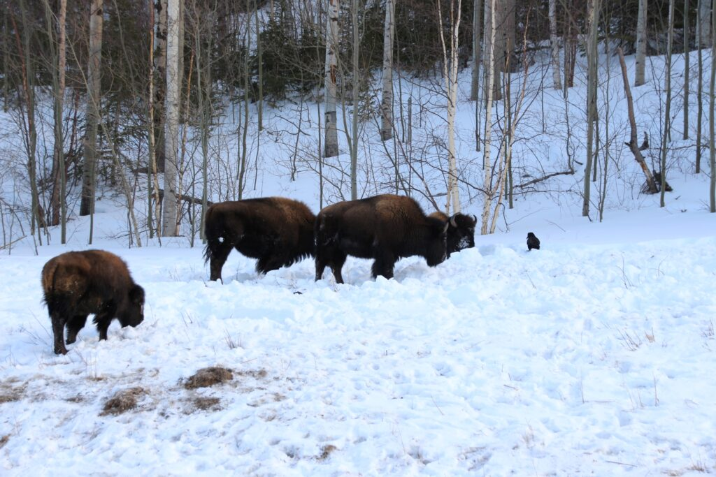 Bisons foraging in the snow with crows watching