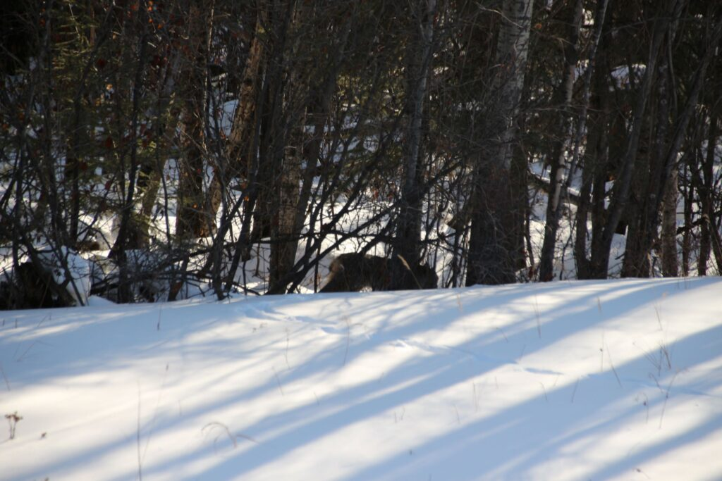 A glimpse of a lynx in the wood