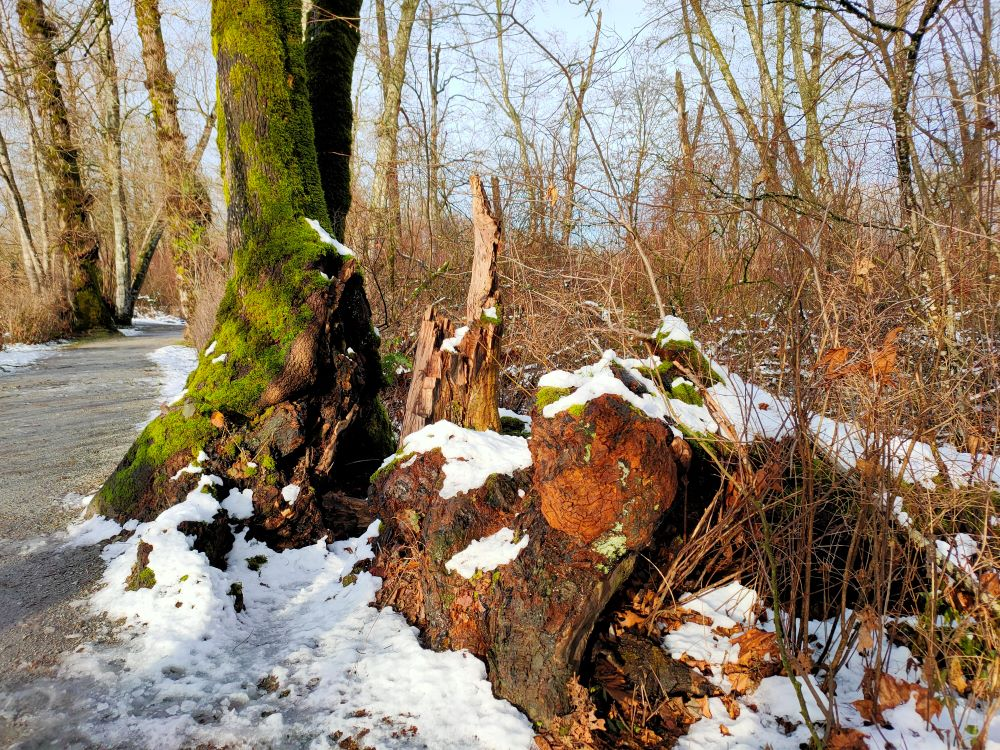 Fallen tree trunks decay to become nurse log