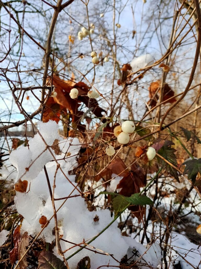Snowberries on the trail