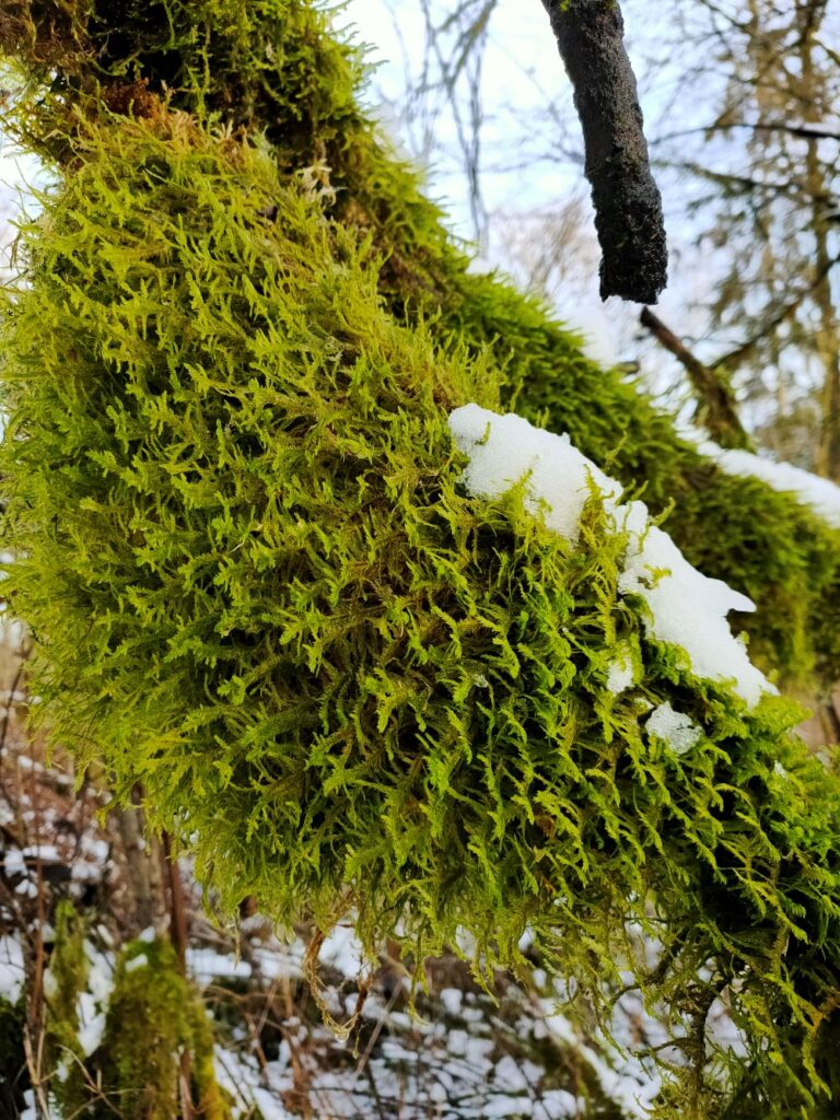 A large patch of moss colony on a tree