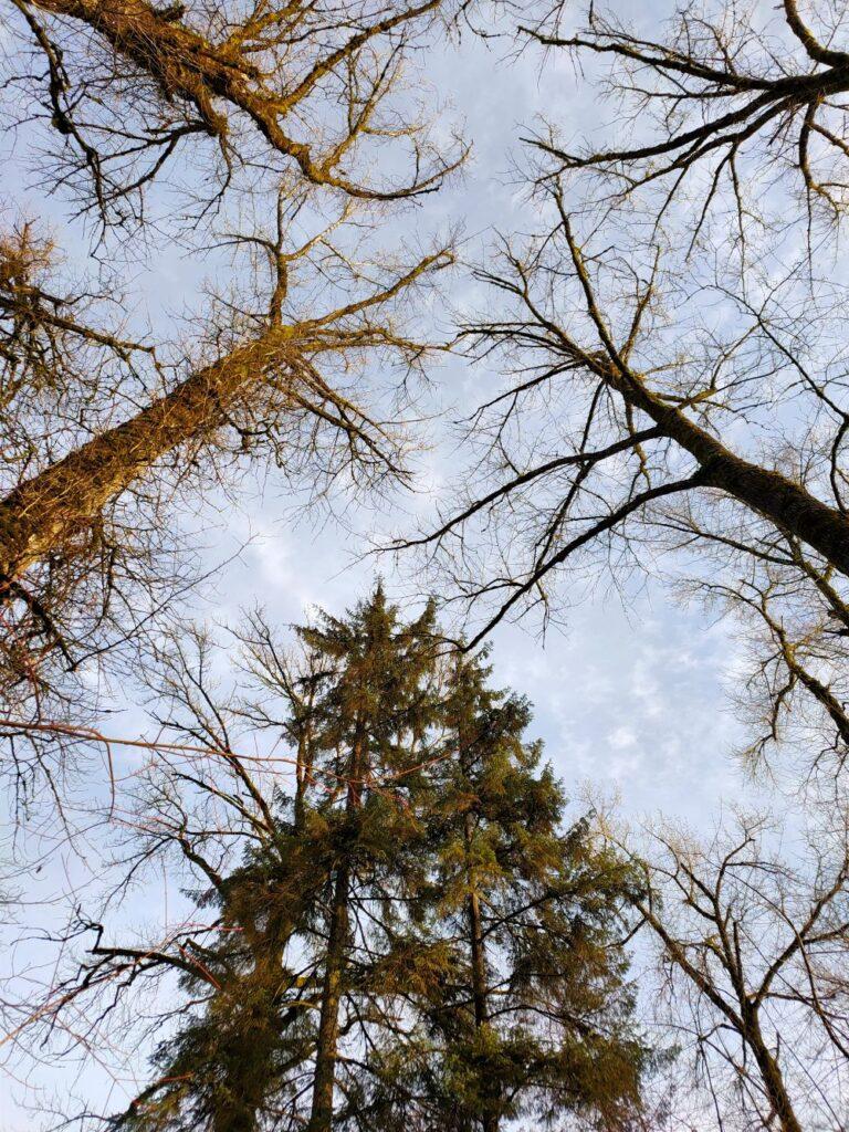 Big trees like giants congregating