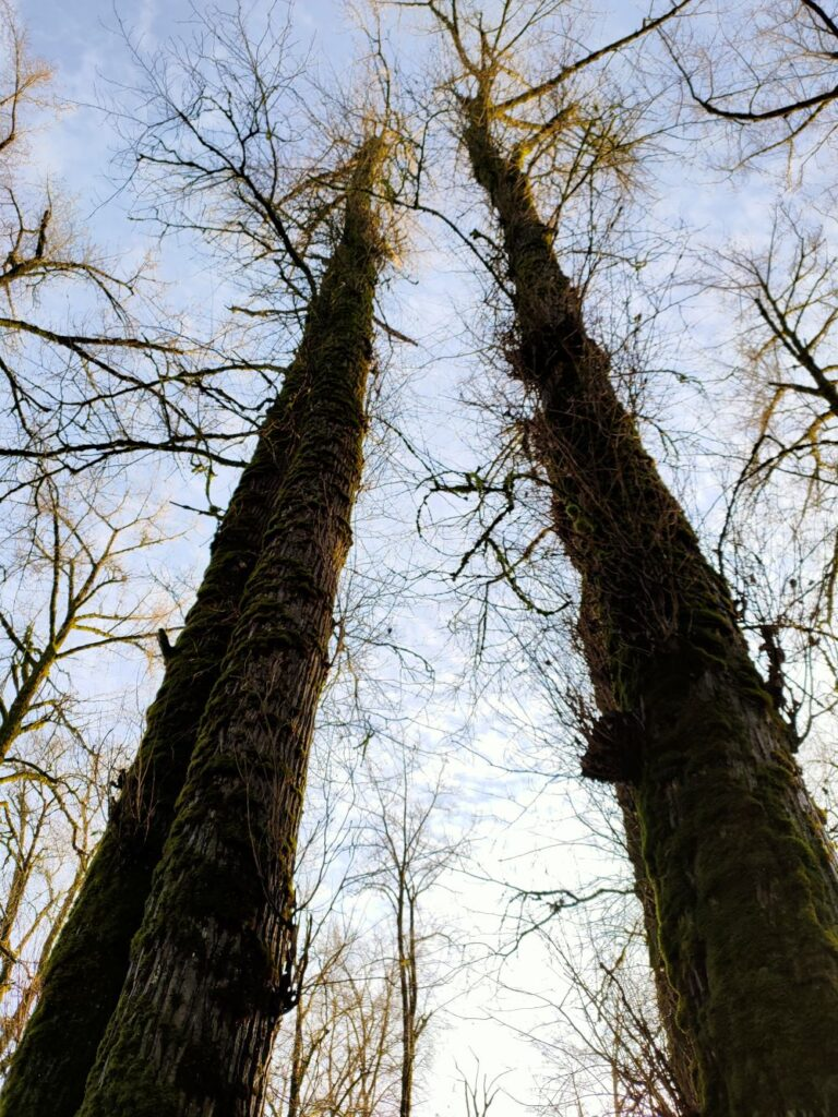 Giant trees at Nature Trail area