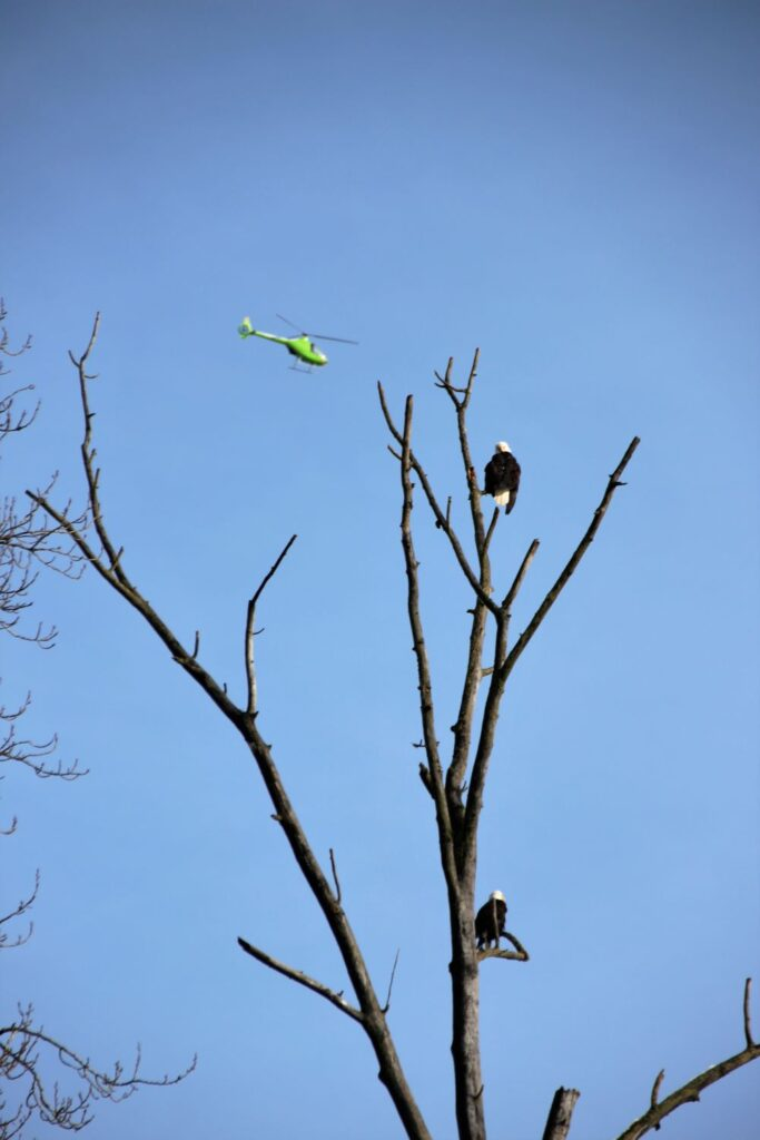Bald eagles on top of a tree with a helicopter flying over