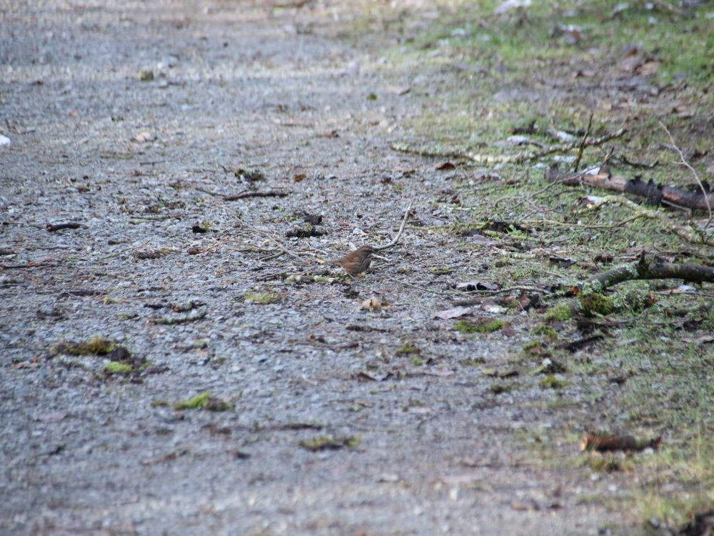 Song sparrow on Nature trail