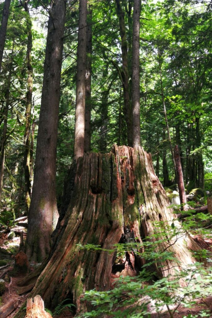 Old growth tree trunks