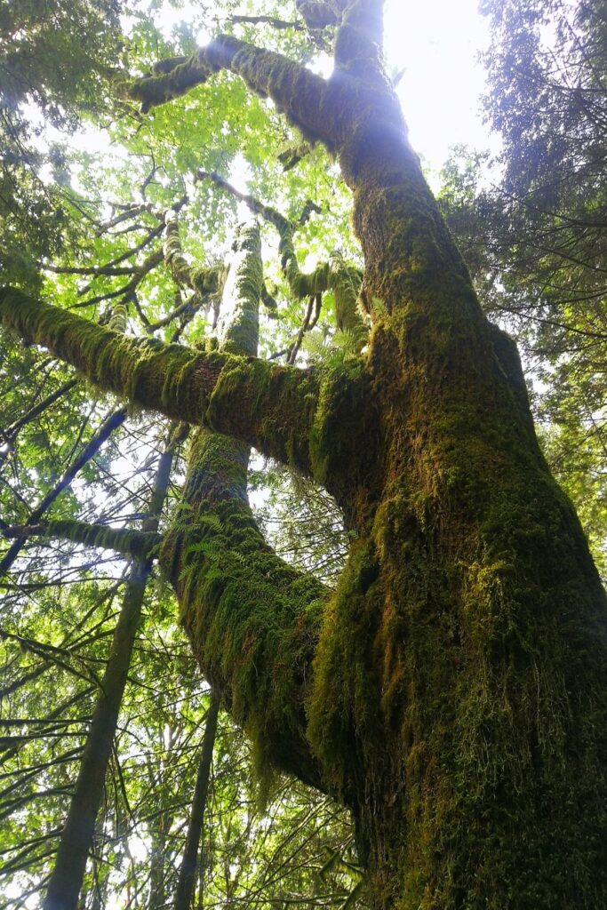 Moss covered maple tree