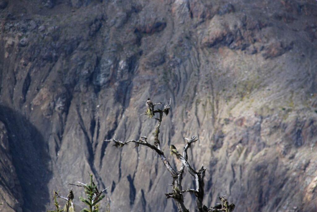 Lone whisky jack at Salmon Glacier Northern BC