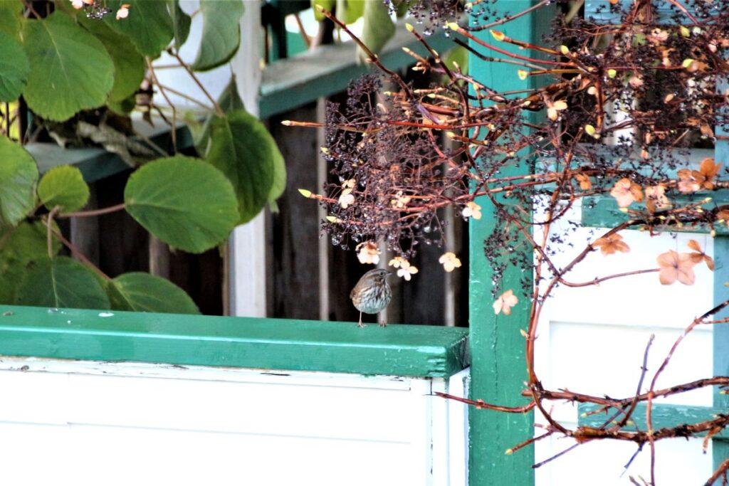 Song sparrow on a garden gate