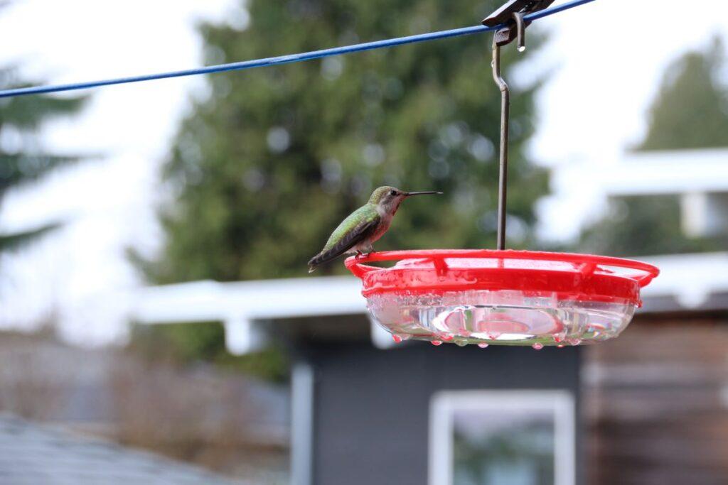 Female Anna's Hummingbird on a red feeder