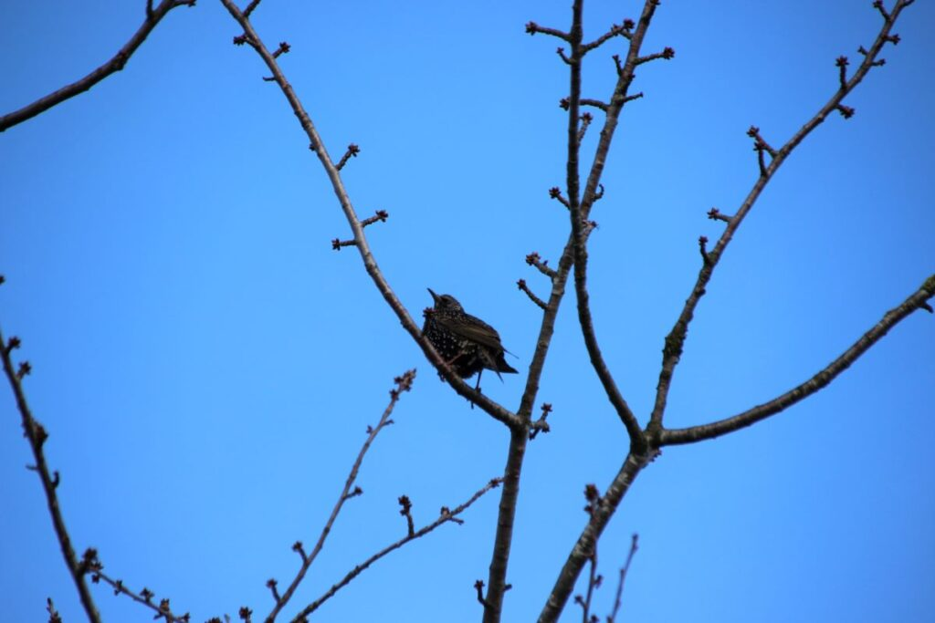 European starling on a tree