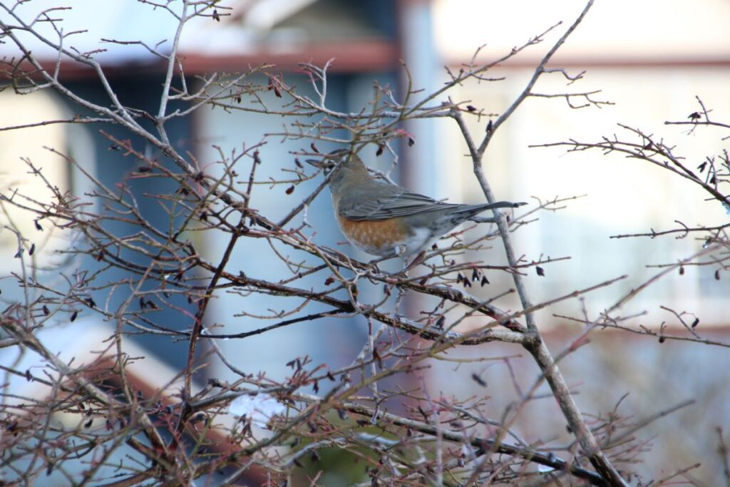 Female robin on a tree