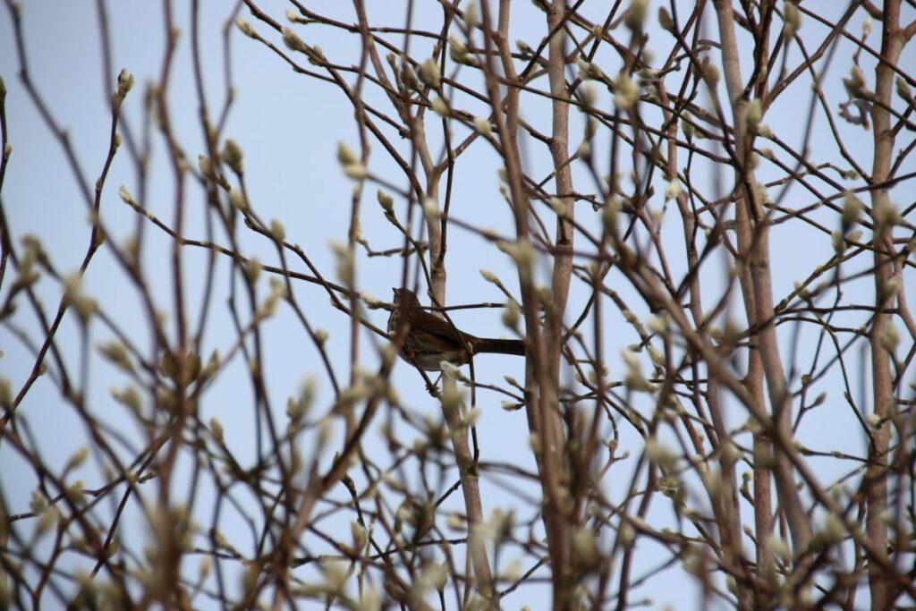 song sparrow hidden in a magnolia bush