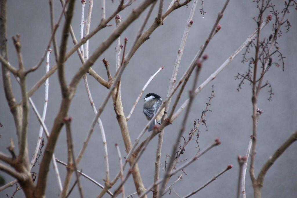 Chickadee hidden in Lilac bush