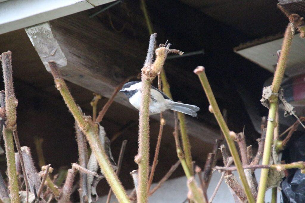 Chickadee on Kiwi vine