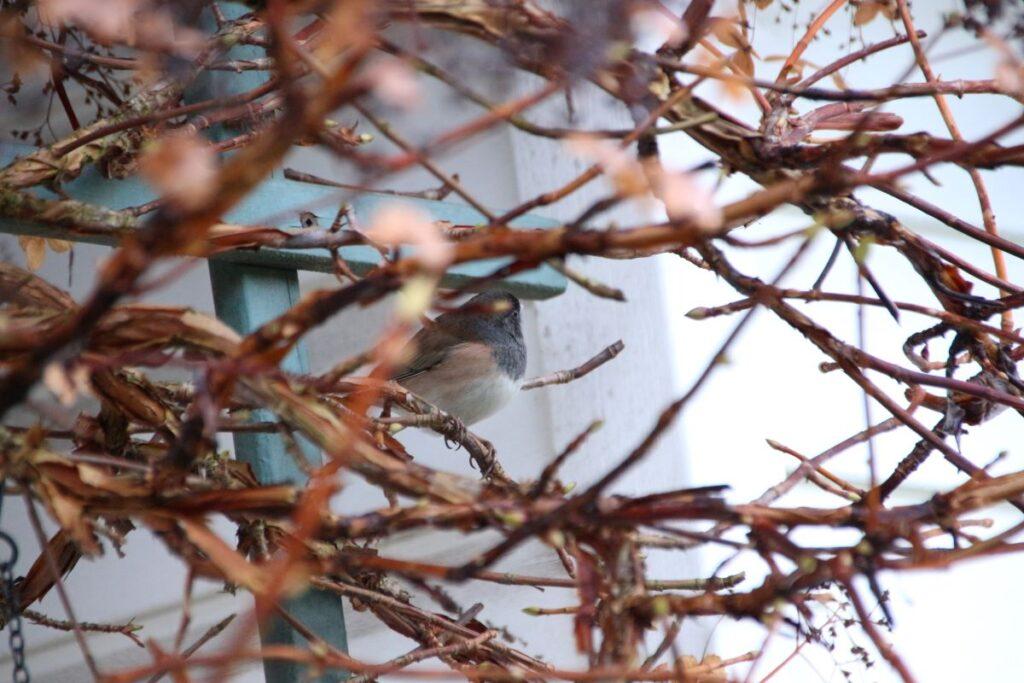 male junco perching on Hydrangea