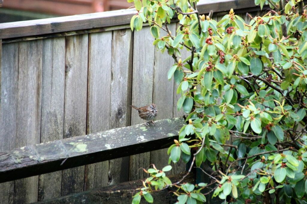 song sparrow on a fence beside a rhododendron bush