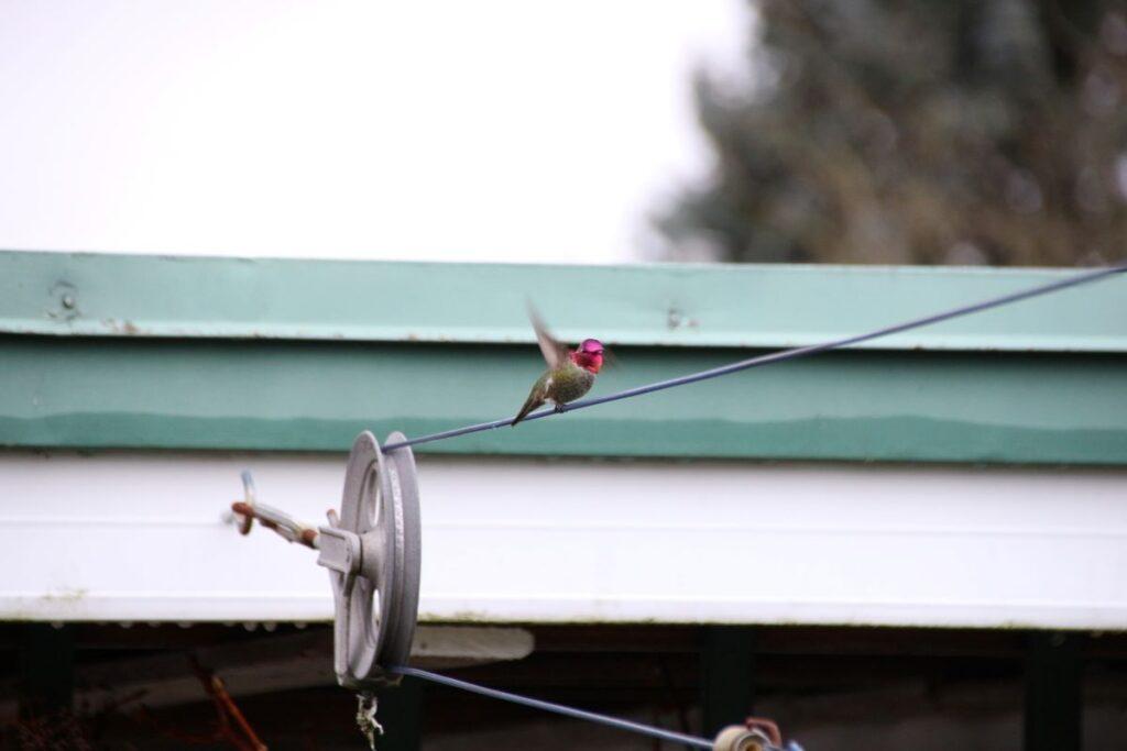 Male Anna's Hummingbird taking off
