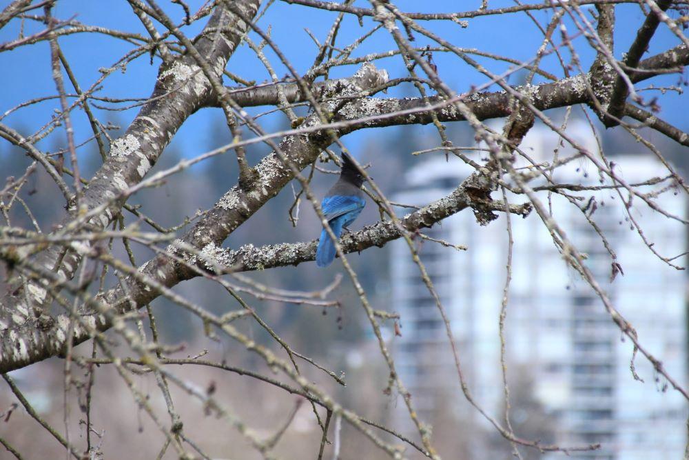 Steller's Jay on a tree