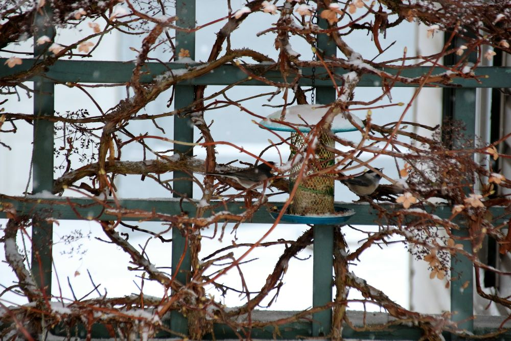 Junco and chickadee queued up at feeder