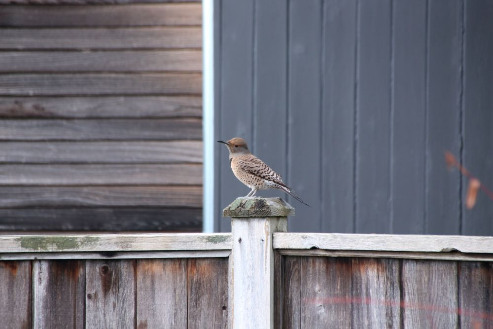 Juvenile female Northern flicker on the fence