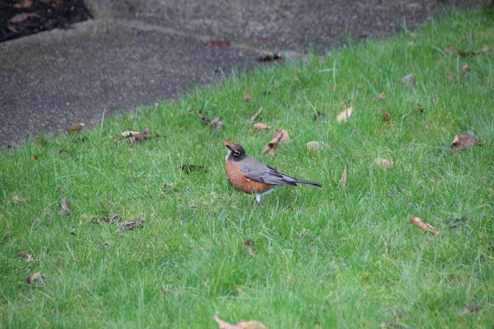 North American robin on the lawn