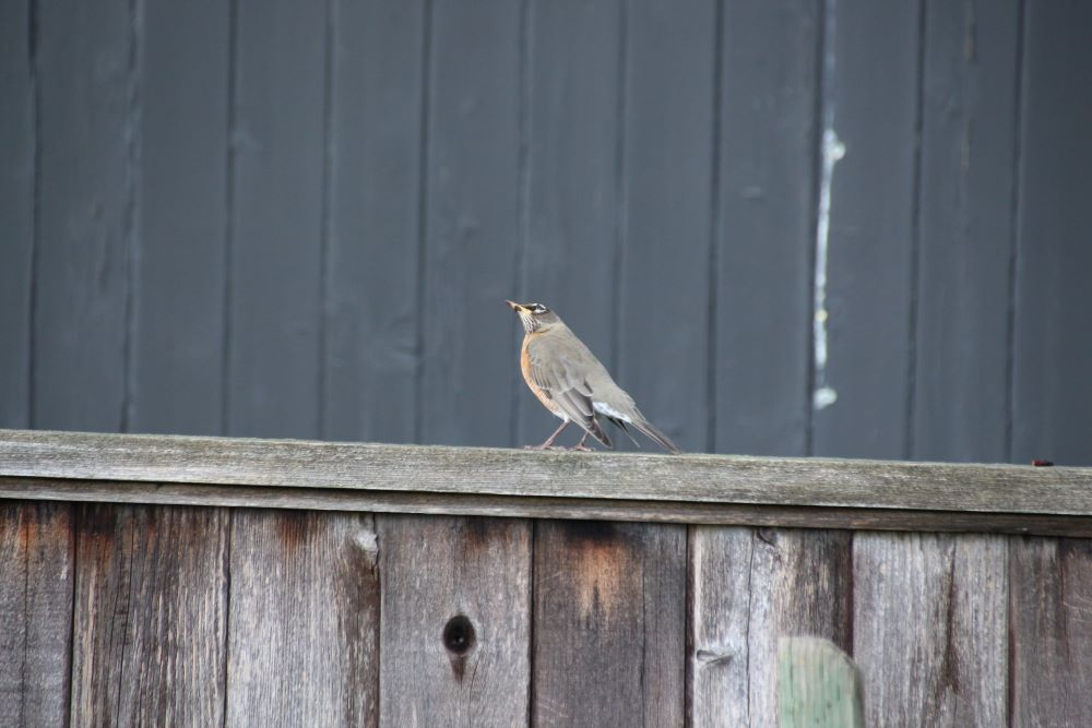 Female robin on the fence