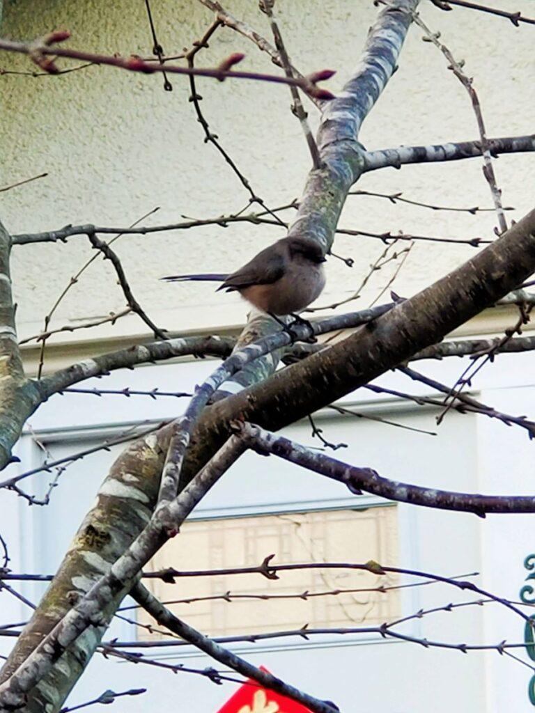 bushtit on an alder tree