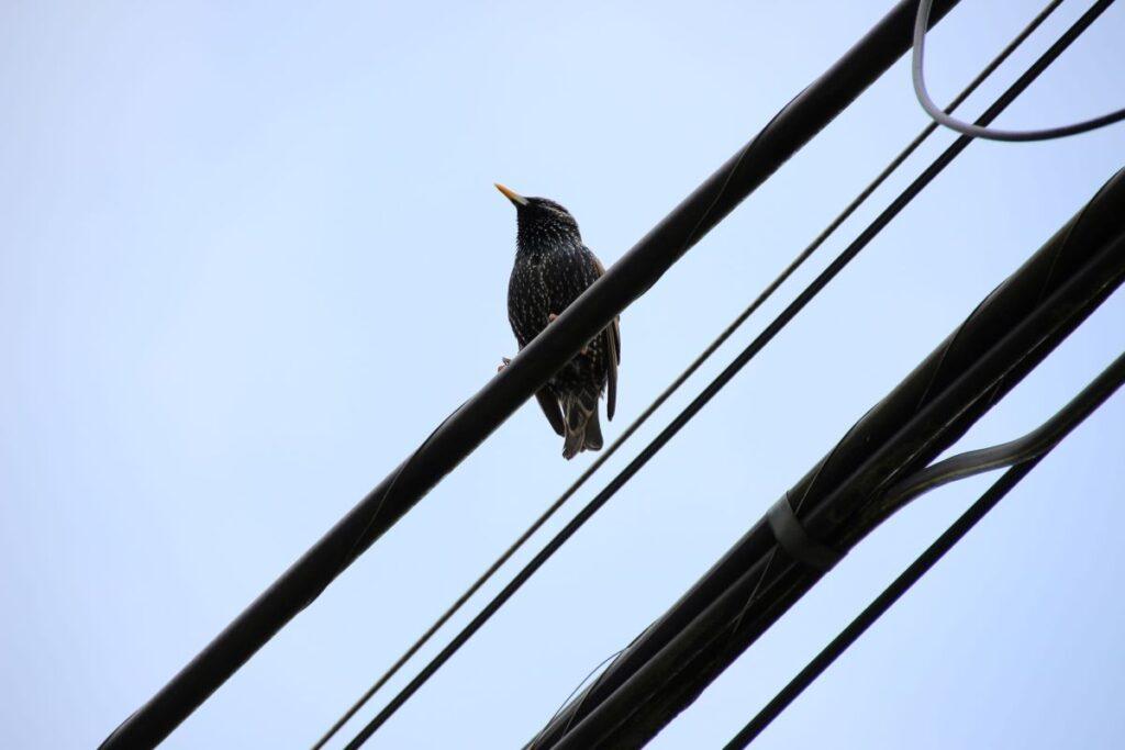 European Starling on power line