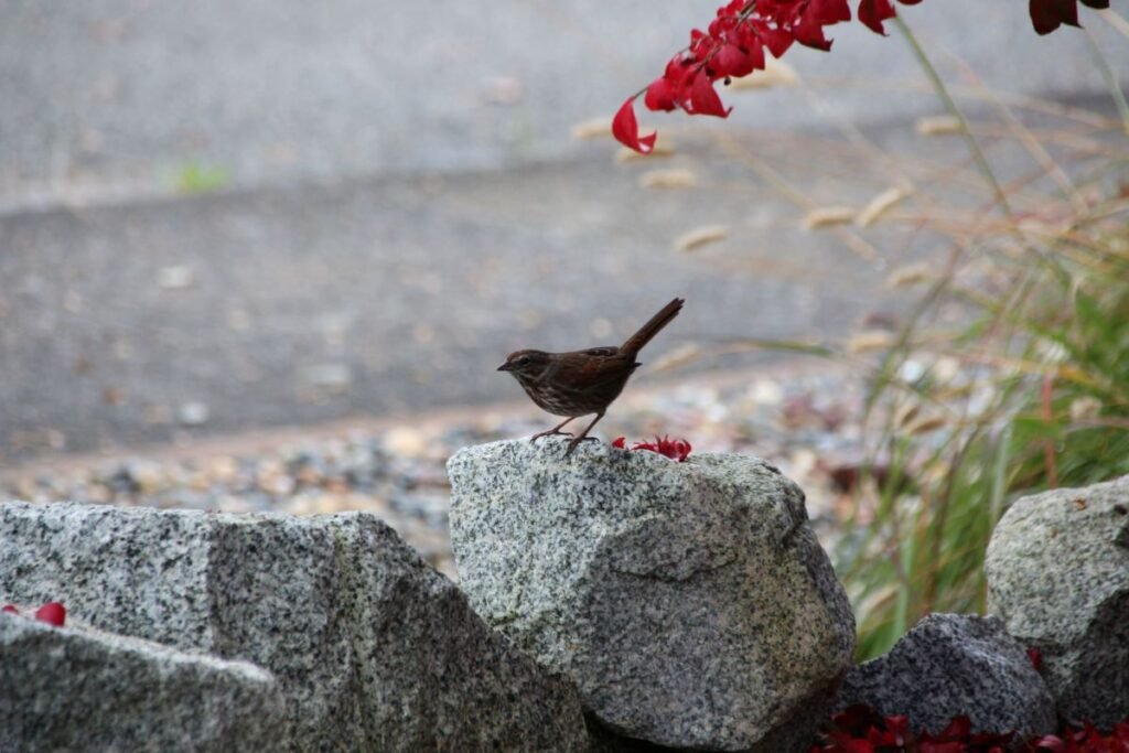 song sparrow on a rock