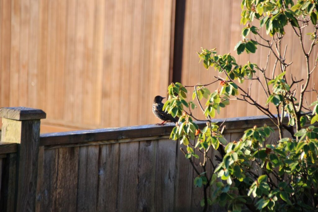 European Starling on a fence