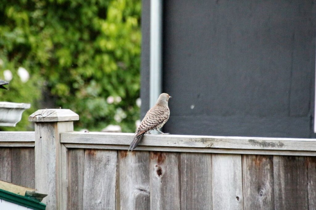Female Northern Flicker on the fence